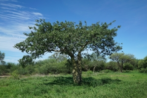 Bottle tree (Chorisia insignis) at a typical savannah, Gran Chaco, Paraguay